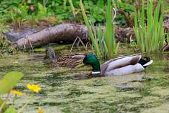 20190416 0075 Pair Mallards Pond LC Inkberrow Worcestershire (rodtuk) Tags: 4star bird england flipublic flickr inkberrow lc midlands nature phototype places rating uk wip worcestershire