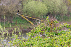 20190415 0045 Blackbird on Jib Crane Diglis River Severn East Walk Worcester (rodtuk) Tags: 4star bird engineering england flipublic flickr midlands misc nature phototype places rating rodt roderict roderickt uk wip worcester worcestershire