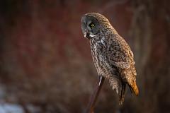 Great Grey Owl on post (dwb838) Tags: greatgreyowl