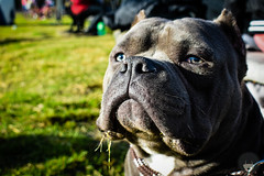 DSC_0342 (Luz_Luque) Tags: dogs abkc animal amby bully photography