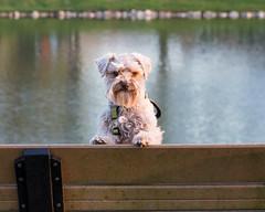 Quincy at the park (Cheryl3001) Tags: dog schnauzer walk park fujifilm xt2 50140mm