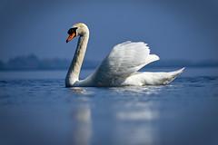 Swan lake (mond.raymond1904) Tags: swan lough derg ireland