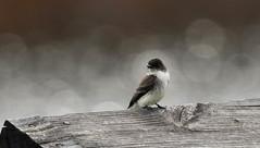 Eastern Phoebe (Sayornis phoebe) (Kremlken) Tags: sayornisphoebe enwr crawfordcounty pennsylvania birds birding birdwatching nikon500 springmigration
