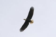 04152019Eagles 7T1A1661 (Steven Arvid Gerde) Tags: bald eagle