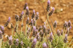 Lavanda (La Mary Anne) Tags: lavanda flor flower lavender