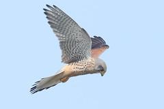 Kestrel (falco tinnunculus) (mrm27) Tags: kestrel commonkestrel falco falcotinnunculus framptonmarshrspb framptonmarsh rspb rspbframptonmarsh lincolnshire