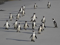 Coming home (geraldineh.dutilly) Tags: penguins wild africa south southafrica wildlife adventure