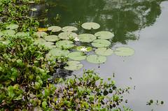 Aquatic plants (I need a good mistake...) Tags: aquatic plants tropicalplant flora