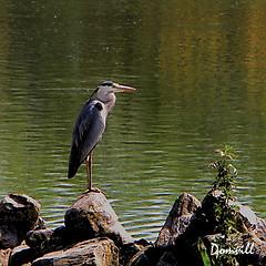 L'attente (DOMVILL) Tags: ladeûle canal domvill eau héron oiseau reflets wwwflickrcompeoplevildom