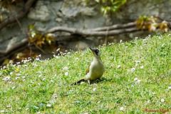 Pic vert femelle adulte (Ezzo33) Tags: france gironde nouvelleaquitaine bordeaux ezzo33 nammour ezzat sony rx10m3 parc jardin oiseau oiseaux bird birds picvert picusviridis europeangreenwoodpecker