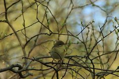 Willow warbler (jon lees) Tags: lead mines whitespots northernireland newtownards countydown