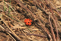 Ladybird (jon lees) Tags: lead mines whitespots northernireland newtownards countydown insect invertebrate ladybird ladybug