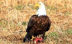 bald eagle near Elma IA 653A9953 (naturalist@winneshiekwild.com) Tags: bald eagle elma howard county iowa larry reis