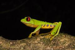 Agalychnis callidryas (Sympholis) Tags: agalychnis callidryas anfibios amphibians herpetofauna herpetology
