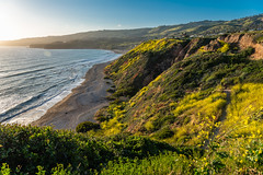 View of the Oceanside Cliff Covered with Wildflowers Superbloom at the Ocean Trails Reserve at Trump National Golf Club (SCSQ4) Tags: beach california cliff coastline favorite favoritepicture losangeles ocean ranchopalosverdes superbloom trumpnationalgolfclub view waves wildflowers