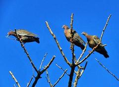 Watchers (carlos_ar2000) Tags: picazuro paloma dove pigeon naturaleza nature animal ave pajaro bird torcaza torcaz arbol tree rama branch mirada glance buenosaires argentina