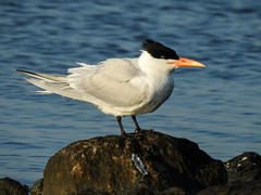 Day 3, Royal Tern / Thalasseus maximus (annkelliott) Tags: royaltern thalasseusmaximus