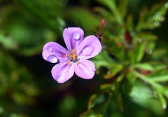 Herb Robert (Worthing Wanderer) Tags: cornwall coast cornwallcoast cliffs countryside coastline may sunny southwestcoastpath flowers wildflowers