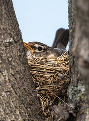 American Robin (Lynn Tweedie) Tags: wood beak tail americanrobin leessummitmunicipalairport canon ngc animal 7dmarkii missouri bird feathers nest tree eos eye sigma150600mmf563dgoshsm branch