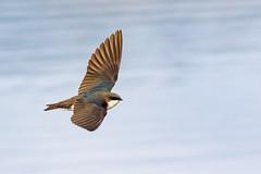Tree Swallow (Gary R Rogers) Tags: bird treeswallow