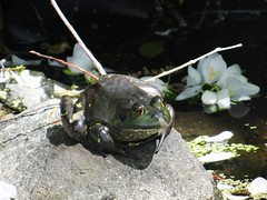 Earth Day frog (EcoSnake) Tags: americanbullfrog lithobatescatesbeiana frogs amphibians bullfrogs earthday april spring idahofishandgame naturecenter