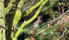 Kaum zu sehen. EXPLORE#29 (♥ ♥ ♥ flickrsprotte♥ ♥ ♥) Tags: rotkehlchen vogel natur botanischergarten kiel explorer