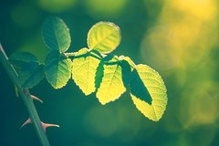 backlit leaves (madtacker) Tags: outdoor natur makro detail vintage art bokeh blatt leaves steinheilmünchen autoquinon f19 55mm nikon d800 deutschland germany