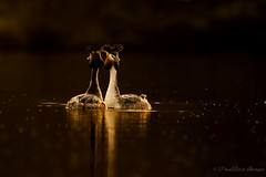Grebes in the golden hour. (budgiepaulbird) Tags: grebe canon7dmark2 100400mark2 eveninglight backlit goldenhour watersedge waterfowl