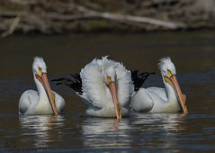 Is the middle one a Swan?._014 (Estrada77) Tags: americanwhitepelicans pelicans white bigbirds water wildlife nature animals birds birding outdoors kanecounty illinois nikon nikond500200500mm april2019 spring2019