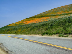 The Other Side Of The Road (davidseibold) Tags: america barbedwirefence benaroad californiapoppy colororange fiddleneck hill nature photosbydavid road sky unitedstates usa wildflower tehachapi california unitedstatesofamerica