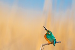 Common Kingfisher, Alcedo atthis (Mustafa Kasapoglu) Tags: common kingfisheralcedo atthis yalıçapkını yaliçapkini kingfisher birds birdphotography birdwatching bird birding ornitology ornitologynature morning shine