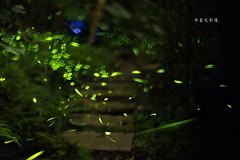 D68_5538 (brook1979) Tags: 疊圖 牛伯伯 螢火蟲 新店 安坑 taiwan firefly 花式黑卡