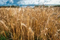 Islay Barley Octomore (HumbleWanderer) Tags: 2017 distillery islay barley scotland wanderingspiritsglobal bruichladdich amandareid whisky september harvest portcharlotte unitedkingdom