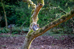 Squirrel in the park (temaher) Tags: sony a7m3 squirrel nature wildlife outdoors tree park