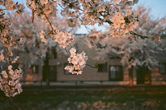 (Jillian Camille) Tags: sakura cherry blossoms akita japan 日本 spring film 35mm grain pink white colors contaxt2 contax t2 filmscan filmisnotdead filmgrain filmfeed