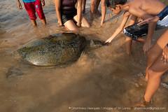 IMG_7632.jpg (Dhammika Heenpella / CWSSIP Images of Sri Lanka) Tags: dhammikaheenpella traveldestination feeding ශ්රීලංකාවේචායාරූප ධම්මිකහීන්පැල්ල placeofinterest turtle ශ්රීලංකාව imagesofsrilanka srilanka placesofinterest ශ්රීලංකාවේෆොටෝ hikkaduwabeach