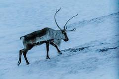 Reindeer (Peta Jade) Tags: reindeer addictedtotravelnow antlers holiday holidaywithgorgeousboyfriend iceland photography snow travel traveldestination tripofalifetime wildanimal winterholiday