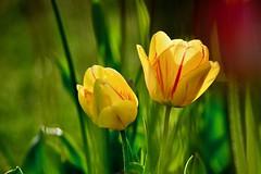 _DSC7704  Welcome spring! (christinachui79) Tags: naturephotography nature macrophotography springblossom tulips tulip spring floral flower blossoms blossom springtime beautiful macro closeup bokeh colourful nikon