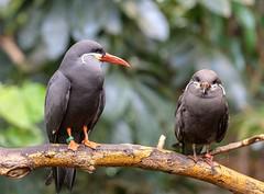 Inca Terns (Karen_Chappell) Tags: bird nature zoo animal travel usa chicago illinois birds two tern green orange black bokeh branch trees