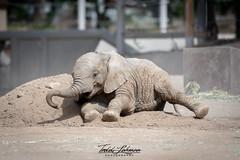 Mkhaya (ToddLahman) Tags: mkhaya africanelephant escondido eyelock elephants elephantvalley elephant sandiegozoosafaripark safaripark outdoors beautiful mammal female portrait photooftheday photography photographer nikond500 nikonphotography nikon