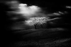 (Effe.Effe) Tags: bn bw biancoenero blackandwhite blossom bloom flowering trees countryside colline campagna fioritura primavera spring