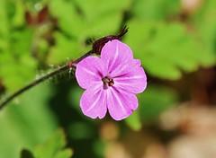 Little Wild Flower (Hugo von Schreck) Tags: hugovonschreck wildflower wildblume macro makro waldrode linsengericht hessen canoneos5dsr tamron28300mmf3563divcpzda010