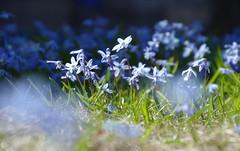 IMGP7404 (PahaKoz) Tags: весна природа сад цветение цветы пролеска spring nature garden blossom bloom blossoming flora flowers scilla scillasiberica флора