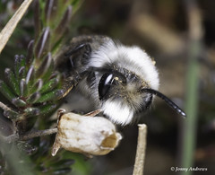 ashy mining bee (jonny.andrews65) Tags: ashy mining bee insect newtownards countydown northernireland leadmines