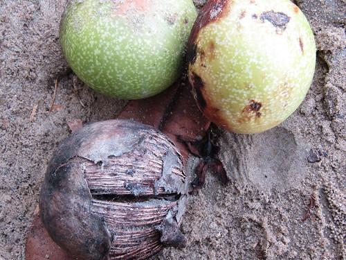 IMG_6692 deadly fruit ~sea mango