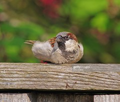 House Sparrow male (Gary Chalker, Thanks for over 4,000,000. views) Tags: sparrow male bird housesparrow pentax pentaxk3ii k3ii pentaxfa600mmf4edif fa600mmf4edif fa600mm 600mm