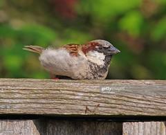 House Sparrow male (Gary Chalker, Thanks for over 4,000,000. views) Tags: housesparrow sparrow bird pentax pentaxk3ii k3ii pentaxfa600mmf4edif fa600mmf4edif fa600mm 600mm
