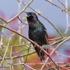 Starling (Gary Chalker, Thanks for over 4,000,000. views) Tags: starling bird pentax pentaxk3ii k3ii pentaxfa600mmf4edif fa600mmf4edif fa600mm 600mm