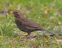 Blackbird female (Gary Chalker, Thanks for over 4,000,000. views) Tags: blackbird female bird pentax pentaxk3ii k3ii pentaxfa600mmf4edif fa600mmf4edif fa600mm 600mm