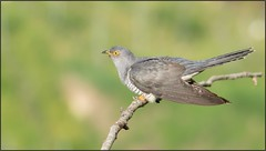 Coucou gris / Common Cuckoo (denismichaluszko) Tags: coucougris commoncuckoo nature viesauvage oiseau bokeh couleurs birdlife wildlife bird colours background